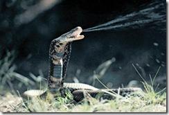 mozambique spitting cobra.-1