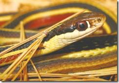 russel viper-1